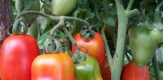 Помидоры и органическое земледелие в Белоруссии