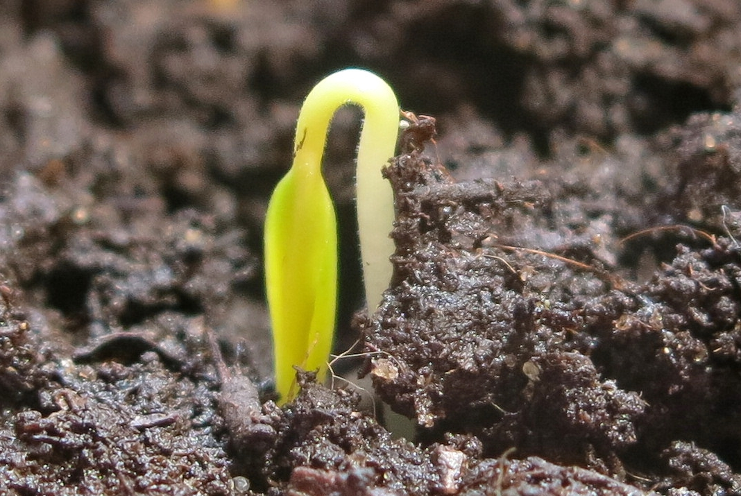 Первый росточек перца появился на восьмой день