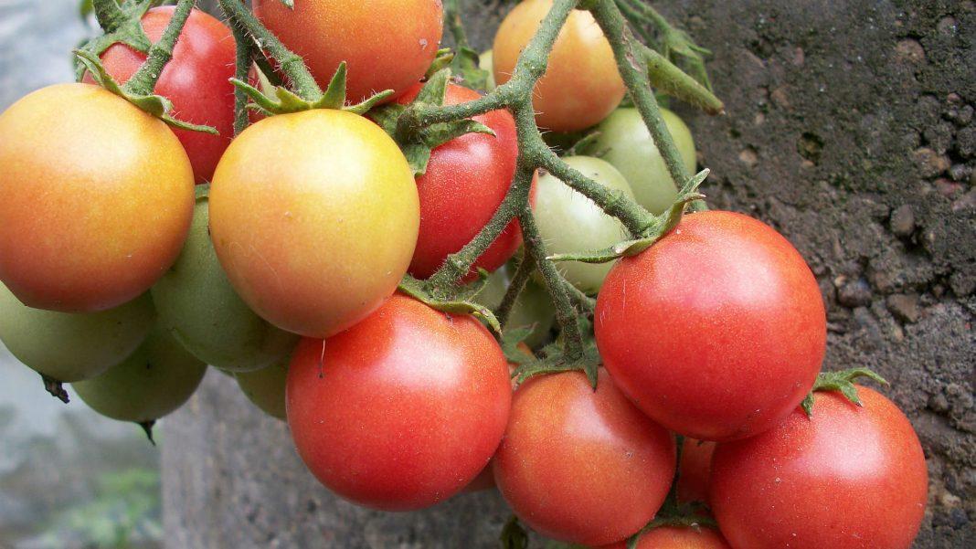 Мои помидорки: без химии, можно есть прямо с куста!