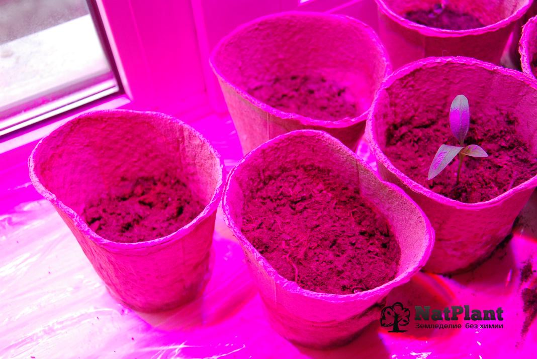 Пустые горшки - семена во всех трёх не были обработаны Silicia