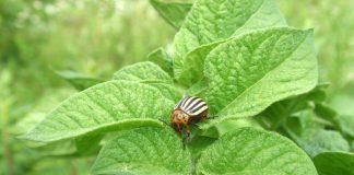 Посадка картофеля колорадский жук