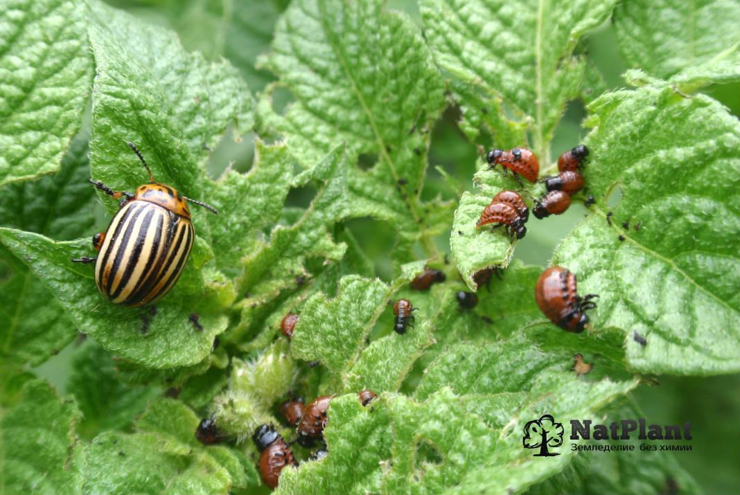 средство от колорадского жука. Посадка картофеля колорадский жук