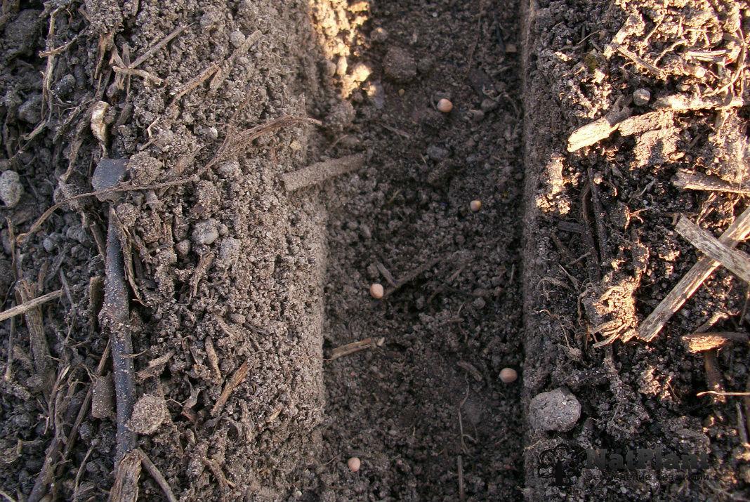 Посадка редиса весной в открытый грунт. Семена редиса в бороздке