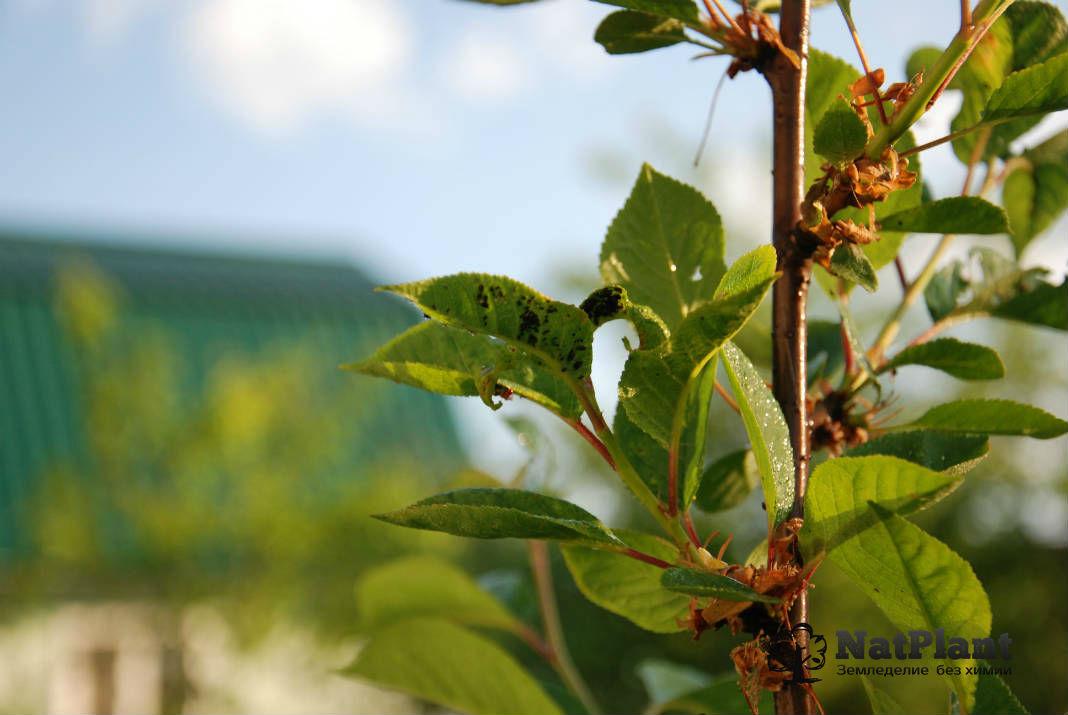 Борьба с тлёй на вишне
