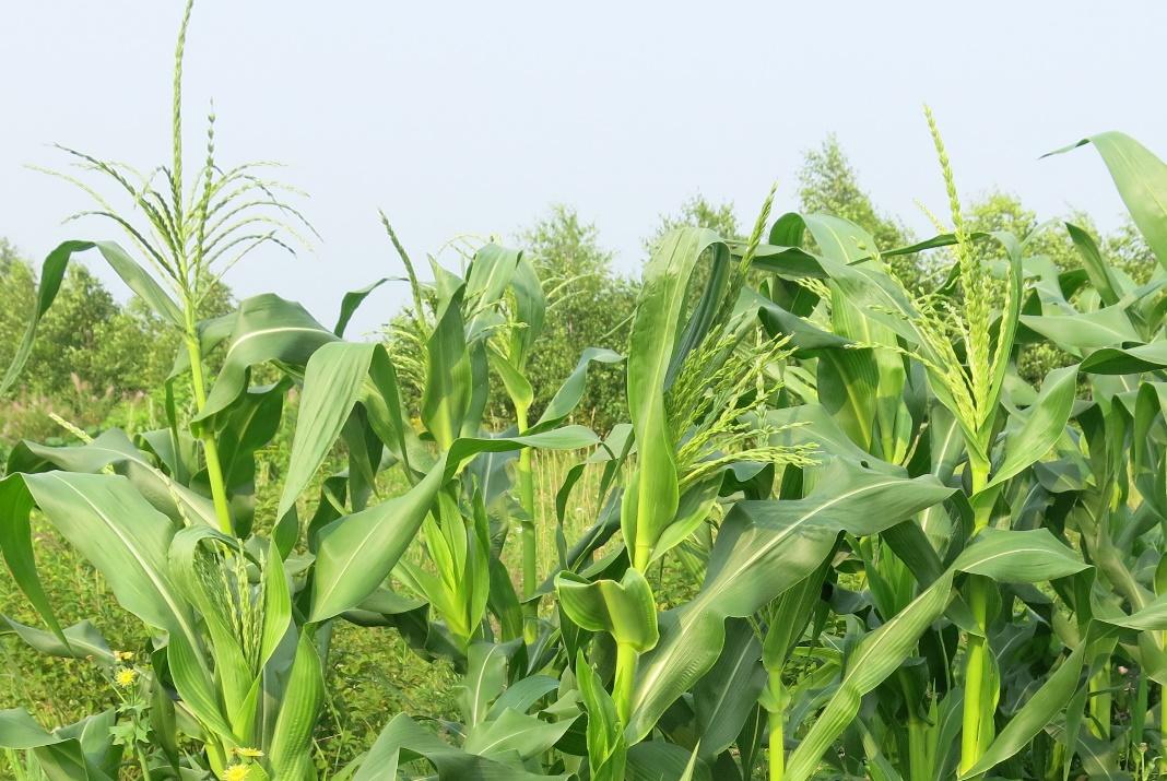 Как опылять кукурузу. Цветы кукурузы.