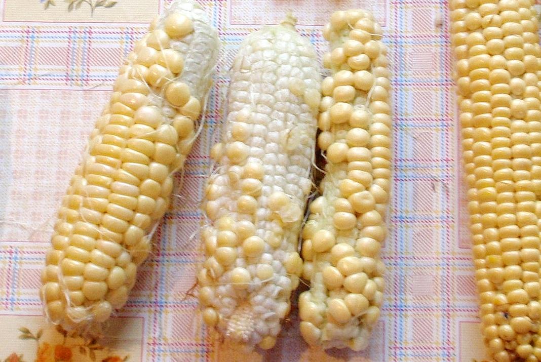 Плохо опылившаяся кукуруза