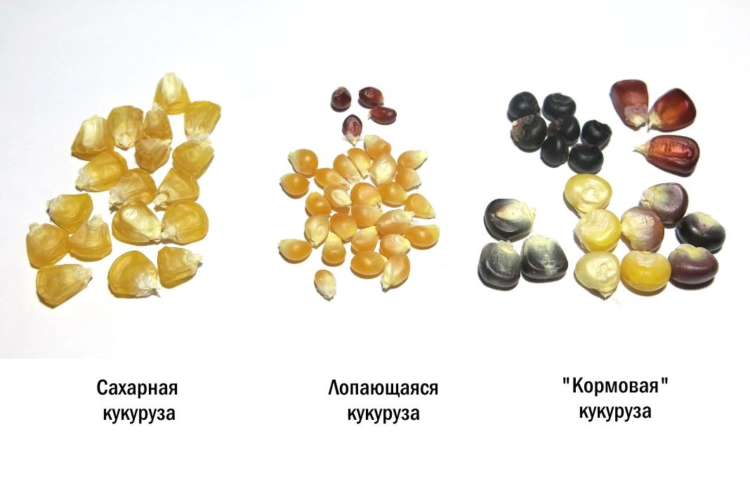Семена кукурузы. Выращивание кукурузы в открытом грунте