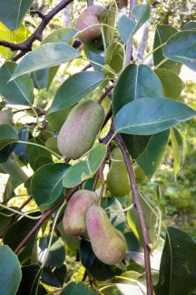 Плоды на груше после гомеопатии