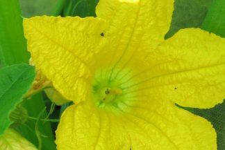 Мужской цветок кабачка