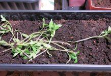Дети вырвали рассаду томатов