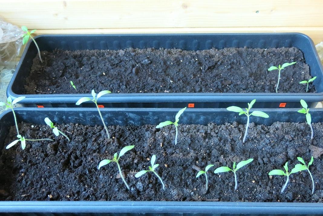 На переднем плане взошли свои семена томатов! А ящик с покупными семенами не радует...