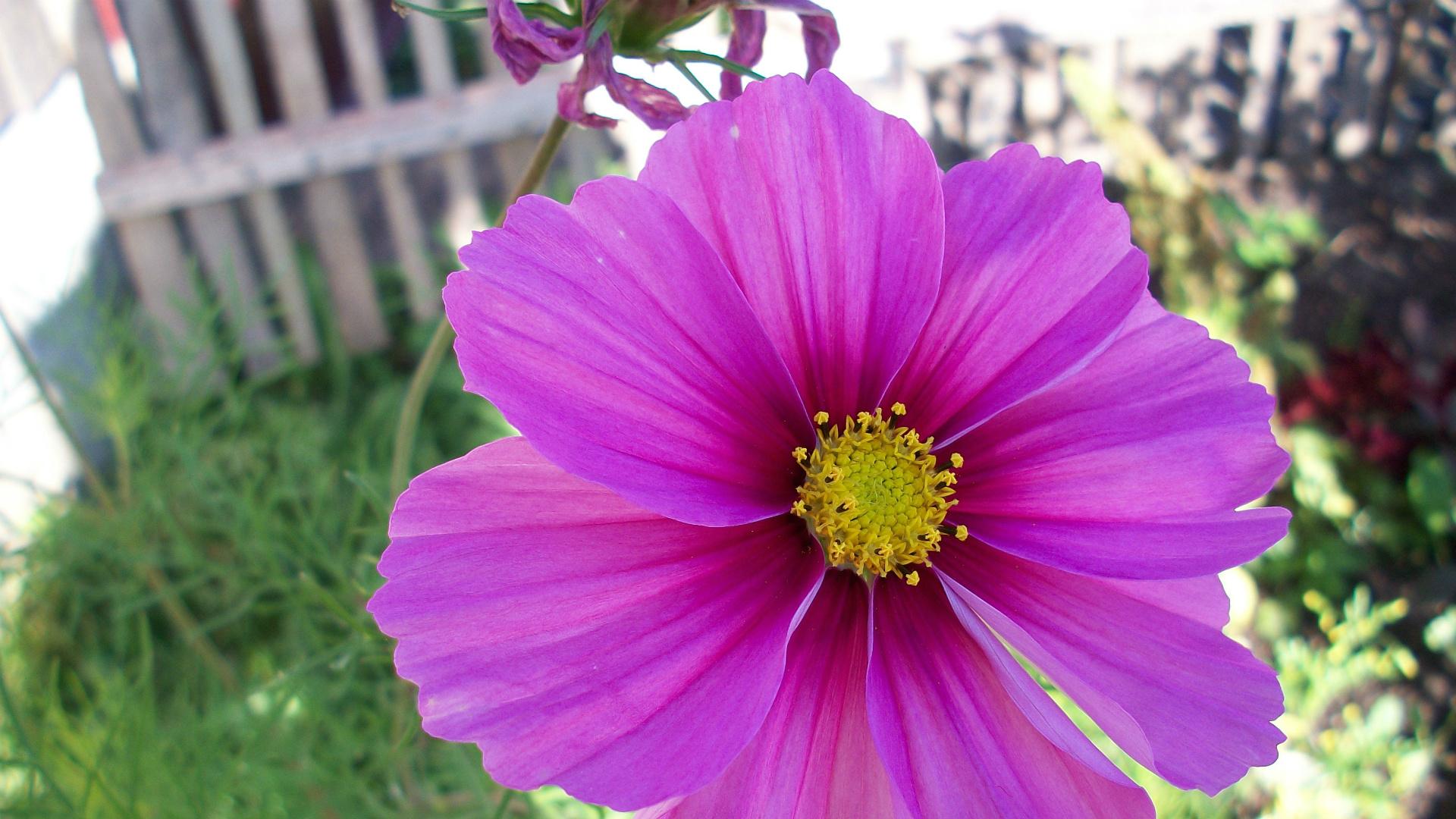Одни из маминых любимых цветов – космея