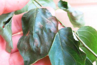 Абрикос пострадал от заморозков. Обмороженный лист коричневого цвета