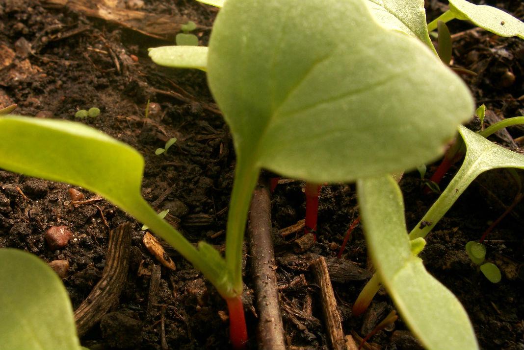 Посадка редиса в открытый грунт. Уже виден зачаток корнеплода.