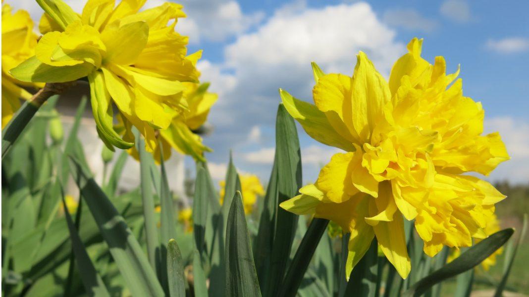 Лунный посевной календарь на май 2017 года садовода и огородника. Нарциссы в мае