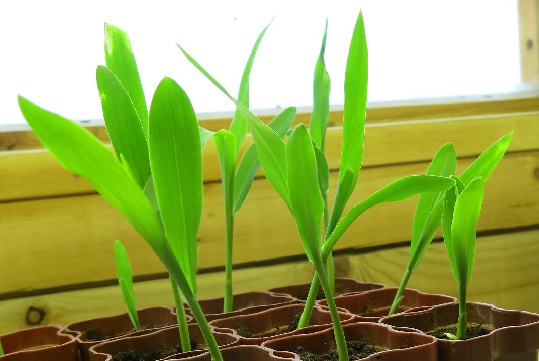 Недельная рассада кукурузы