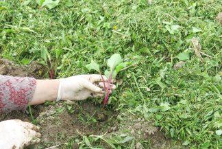 Мульчирование свежескошенной травой рассады свёклы
