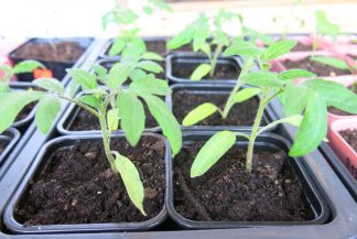 Как вырастить рассаду томатов: распикированная рассада