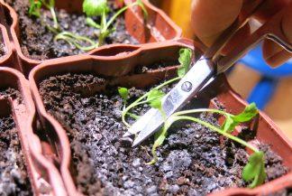 Аккуратно срезаю слабые ростки маленькими ножничками
